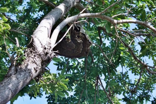 Pohon berbuah rumah tawon!