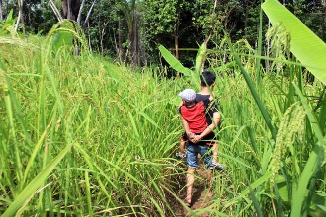 Hendra dan keponakan melewati tanaman padi gogo rancah