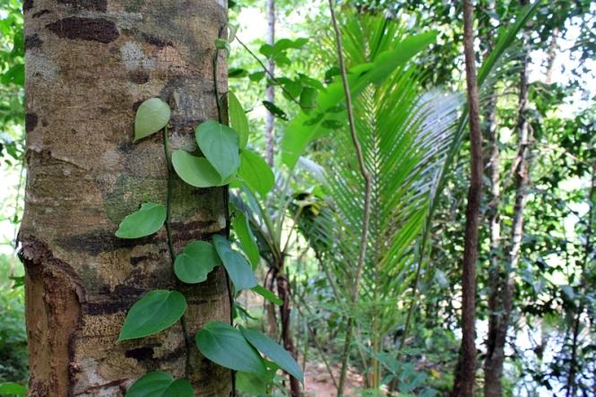 Kalau yang ini saya tau,ini tanaman sirih kan? yakan ndra? ... ndra?! .........